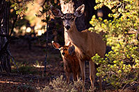 /images/133/2014-08-18-gc-fawn-1dx_8249.jpg - #12164: Deer in Grand Canyon … August 2014 -- Grand Canyon, Arizona