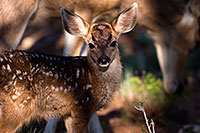 /images/133/2014-08-18-gc-fawn-1dx_8648.jpg - #12165: Deer in Grand Canyon … August 2014 -- Grand Canyon, Arizona
