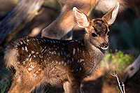 /images/133/2014-08-18-gc-fawn-1dx_8661.jpg - #12166: Deer in Grand Canyon … August 2014 -- Grand Canyon, Arizona