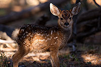 /images/133/2014-08-18-gc-fawn-1dx_8691.jpg - #12167: Deer in Grand Canyon … August 2014 -- Grand Canyon, Arizona