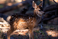 /images/133/2014-08-18-gc-fawn-1dx_8703.jpg - #12168: Deer in Grand Canyon … August 2014 -- Grand Canyon, Arizona