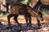 /images/133/2014-08-18-gc-fawn-1dx_8800.jpg - #12170: Deer in Grand Canyon … August 2014 -- Grand Canyon, Arizona