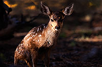/images/133/2014-08-18-gc-fawn-1dx_8826.jpg - #12171: Deer in Grand Canyon … August 2014 -- Grand Canyon, Arizona