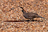 /images/133/2014-08-23-tucson-quail-1dx_0007.jpg - 12251: Quail in Tucson, Arizona … August 2014 -- Tucson, Arizona