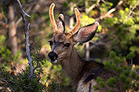 /images/133/2014-08-30-gc-deer-1dx_0187.jpg - #12177: Mule Deer in Grand Canyon … August 2014 -- Grand Canyon, Arizona