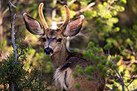 /images/133/2014-08-30-gc-deer-1dx_0209.jpg - #12178: Mule Deer in Grand Canyon … August 2014 -- Grand Canyon, Arizona