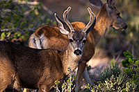 /images/133/2014-08-30-gc-deer-1dx_0276.jpg - #12180: Mule Deer in Grand Canyon … August 2014 -- Grand Canyon, Arizona