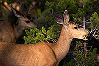 /images/133/2014-08-30-gc-deer-1dx_0335.jpg - #12182: Mule Deer in Grand Canyon … August 2014 -- Grand Canyon, Arizona