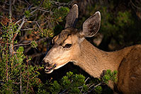 /images/133/2014-08-30-gc-deer-1dx_0427.jpg - #12184: Mule Deer in Grand Canyon … August 2014 -- Grand Canyon, Arizona