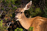 /images/133/2014-08-30-gc-deer-1dx_0453.jpg - #12186: Mule Deer in Grand Canyon … August 2014 -- Grand Canyon, Arizona