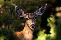 /images/133/2014-08-30-gc-deer-1dx_0466.jpg - #12188: Mule Deer in Grand Canyon … August 2014 -- Grand Canyon, Arizona