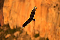 /images/133/2014-09-01-gc-vultures-1dx_2785.jpg - #12287: Vulture in flight in evening light at Grand Canyon … September 2014 -- Grand Canyon, Arizona