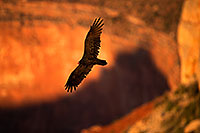 /images/133/2014-09-01-gc-vultures-1dx_2787.jpg - #12288: Vulture in flight in evening light at Grand Canyon … September 2014 -- Grand Canyon, Arizona