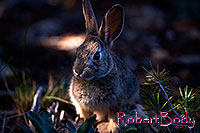/images/133/2014-09-13-cg-bunny-1dx_3592.jpg - #12289: Young rabbit in Grand Canyon … Sept 2014 -- Grand Canyon, Arizona