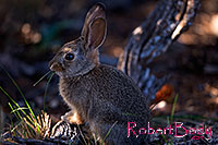 /images/133/2014-09-13-cg-bunny-1dx_3638.jpg - #12290: Young rabbit in Grand Canyon … Sept 2014 -- Grand Canyon, Arizona