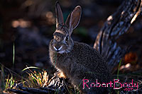 /images/133/2014-09-13-cg-bunny-1dx_3654.jpg - #12291: Young rabbit in Grand Canyon … Sept 2014 -- Grand Canyon, Arizona