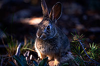 /images/133/2014-09-13-gc-bunny-1dx_3592.jpg - #12195: Young rabbit in Grand Canyon … Sept 2014 -- Grand Canyon, Arizona