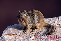 /images/133/2014-09-14-cg-squirrels-1dx_5691.jpg - #12295: Squirrels in Grand Canyon … Sept 2014 -- Grand Canyon, Arizona
