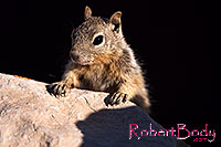 /images/133/2014-09-14-cg-squirrels-1dx_5756.jpg - #12296: Squirrels in Grand Canyon … Sept 2014 -- Grand Canyon, Arizona