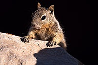 /images/133/2014-09-14-gc-squirrels-1dx_5756.jpg - #12203: Squirrels in Grand Canyon … Sept 2014 -- Grand Canyon, Arizona