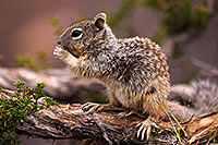 /images/133/2014-09-21-gc-squirrels-5d3_0800.jpg - #12206: Squirrels in Grand Canyon … September 2014 -- Grand Canyon, Arizona
