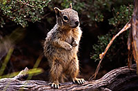 /images/133/2014-09-21-gc-squirrels-5d3_1282.jpg - #12209: Squirrels in Grand Canyon … September 2014 -- Grand Canyon, Arizona