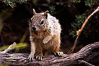 /images/133/2014-09-21-gc-squirrels-5d3_1291.jpg - #12210: Squirrels in Grand Canyon … September 2014 -- Grand Canyon, Arizona