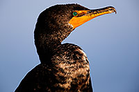/images/133/2015-01-19-lajolla-cormorants-1dx_2809.jpg - #12394: Cormorant in California … January 2015 -- La Jolla, California
