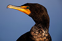 /images/133/2015-01-19-lajolla-cormorants-1dx_2890.jpg - #12395: Cormorant in California … January 2015 -- La Jolla, California