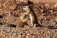 /images/133/2015-05-10-creatures-2fig-5d3_1170.jpg - #12420: Round Tailed Ground Squirrels in Tucson … May 2015 -- Tucson, Arizona