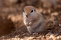 /images/133/2015-05-10-creatures-5d3_0994.jpg - #12436: Round Tailed Ground Squirrels in Tucson … May 2015 -- Tucson, Arizona