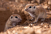 /images/133/2015-05-10-creatures-60-5d3_0966.jpg - #12442: Round Tailed Ground Squirrels in Tucson … May 2015 -- Tucson, Arizona