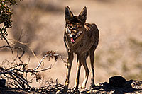 /images/133/2015-05-31-dv-coyote-1dx_0782.jpg - #12444: Coyote in Death Valley, California … May 2015 -- Death Valley, California