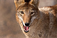 /images/133/2015-05-31-dv-coyote-1dx_0967.jpg - #12445: Coyote in Death Valley, California … May 2015 -- Death Valley, California