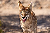 /images/133/2015-05-31-dv-coyote-1dx_0986.jpg - #12446: Coyote in Death Valley, California … May 2015 -- Death Valley, California
