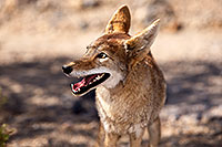 /images/133/2015-05-31-dv-coyote-1dx_0992.jpg - #12447: Coyote in Death Valley, California … May 2015 -- Death Valley, California