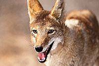 /images/133/2015-05-31-dv-coyote-1dx_1011.jpg - #12448: Coyote in Death Valley, California … May 2015 -- Death Valley, California
