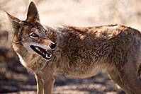 /images/133/2015-05-31-dv-coyote-1dx_1128.jpg - #12449: Coyote in Death Valley, California … May 2015 -- Death Valley, California