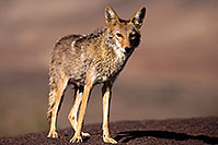 /images/133/2015-05-31-dv-coyote-1dx_1285.jpg - #12450: Coyote in Death Valley, California … May 2015 -- Death Valley, California