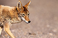 /images/133/2015-05-31-dv-coyote-1dx_1305.jpg - #12452: Coyote in Death Valley, California … May 2015 -- Death Valley, California