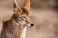 /images/133/2015-05-31-dv-coyote-1dx_1313.jpg - #12453: Coyote in Death Valley, California … May 2015 -- Death Valley, California