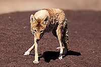 /images/133/2015-06-01-dv-coyote-1dx_1402.jpg - #12455: Coyote in Death Valley, California … June 2015 -- Death Valley, California