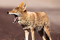 /images/133/2015-06-01-dv-coyote-1dx_1491.jpg - #12457: Coyote in Death Valley, California … June 2015 -- Death Valley, California