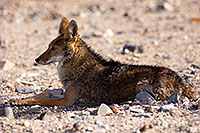 /images/133/2015-06-01-dv-coyote-1dx_1524.jpg - #12459: Coyote in Death Valley, California … June 2015 -- Death Valley, California
