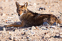 /images/133/2015-06-01-dv-coyote-1dx_1525.jpg - #12460: Coyote in Death Valley, California … June 2015 -- Death Valley, California