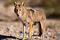 /images/133/2015-06-01-dv-coyote-1dx_1542.jpg - #12461: Coyote in Death Valley, California … June 2015 -- Death Valley, California