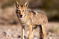 /images/133/2015-06-01-dv-coyote-1dx_1546.jpg - #12462: Coyote in Death Valley, California … June 2015 -- Death Valley, California