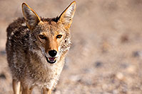 /images/133/2015-06-01-dv-coyote-1dx_1631.jpg - #12463: Coyote in Death Valley, California … June 2015 -- Death Valley, California