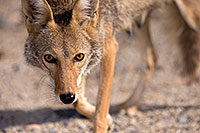 /images/133/2015-06-01-dv-coyote-1dx_1679.jpg - 12495: Coyote in Death Valley, California … June 2015 -- Death Valley, California