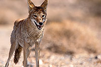 /images/133/2015-06-01-dv-coyote-1dx_1731.jpg - #12465: Coyote in Death Valley, California … June 2015 -- Death Valley, California